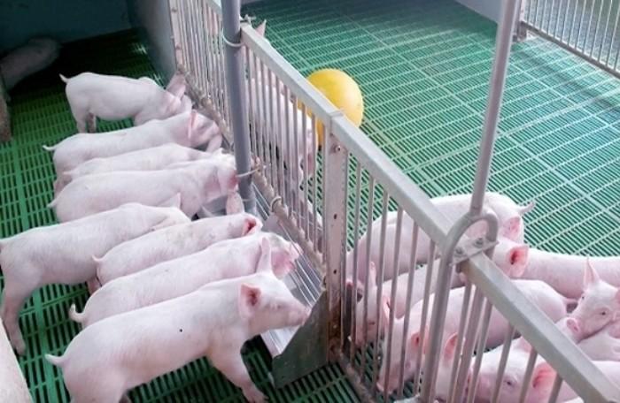 Dự án phát triển heo giống tại Đắk Lắk có quy mô 500 tỷ đồng.